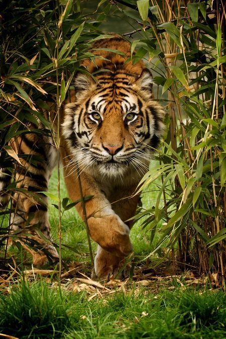Tiger Photo by Paul Hayes